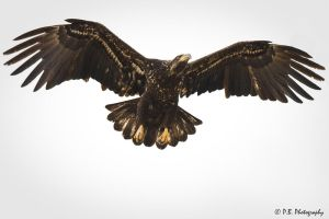 Juvenile Bald Eagle fly by II by pauluminous