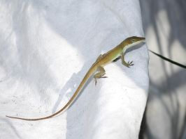 Anole 'What are you up to?' look by Clash-With-Reality