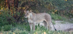 Lioness getting ready for hunt by luethy