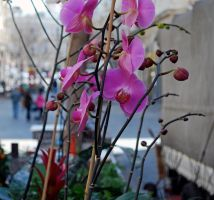 Orchids, Jerusalem by dpt56