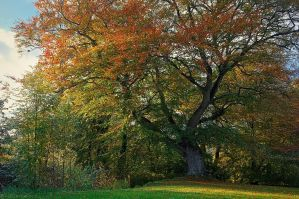 Belvoir Tree, October 2010 by Gerard1972