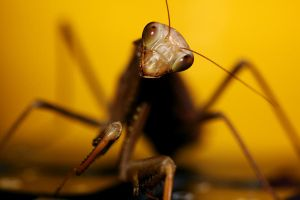 Brown Mantis, Yellow Mug by Spankreas