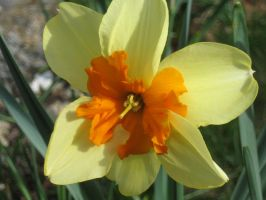 friend's Daff by crazygardener