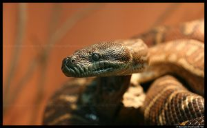 Python: Hello There by TVD-Photography