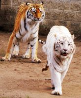 Bengal Tiger Stock 1 by HOTNStock