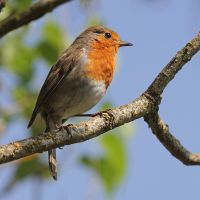 Robin 01 by LydiardWildlife