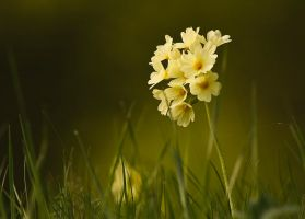 Primula officinalis by lica20