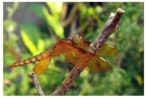 Green-eyed Dragonfly by kiew1