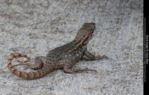 Curly Tail Lizard Stock 5 by Cassy-Blue