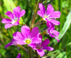 Creeping Loosestrife by floramelitensis
