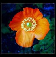 Summer Poppy by Forestina-Fotos