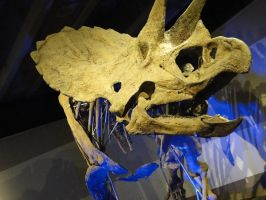 Triceratops by KayleiImagery