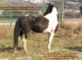 Dallas 14 by AstriexEquineStock