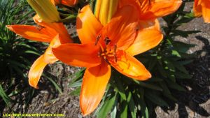 Orange Lily 2 by Lootra