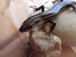 Five-Stripe Skink by Night-Forager