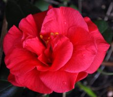 My First Camellia by Forestina-Fotos