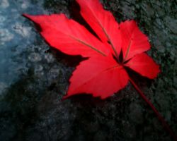 Red Leaf 2 by AngeLiCiOuZz