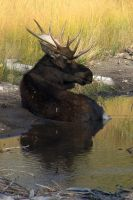 Bull Moose by amzimme