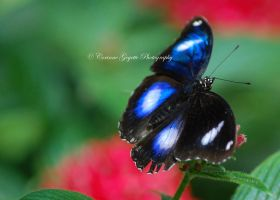 Blue and White Butterfly by wordweaver1001