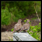 2 of Doves Morning by Mogrianne