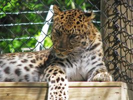 Amur Leopard Stock 1 by HOTNStock