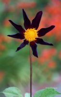 A  Rare and Beautiful Black Dahlia by theresahelmer