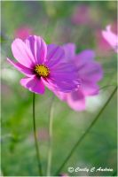 Cosmos Flower by CecilyAndreuArtwork
