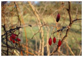 Red Buds by neilwightman
