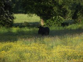 Bull in Buttercups by D1scipl31974