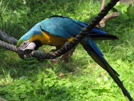 Blue-and-yellow Macaw 02 by animalphotos