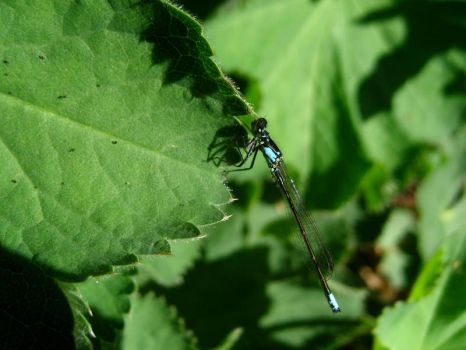 tiny blue dragonfly by co1dpaws