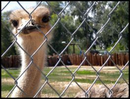 Arizona 2011 - Ostrich by DarlingMionette