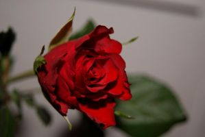 Red Rose 5 by gaothaire