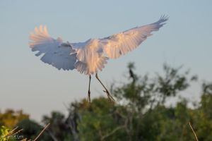 Great egret landing by CyclicalCore