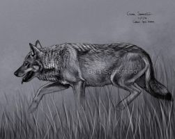Wolf sketch by makangeni