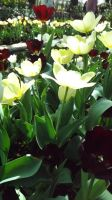 Sunny Tulips by DarlingChristie