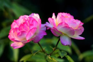 Pink Roses by Monkeystyle3000
