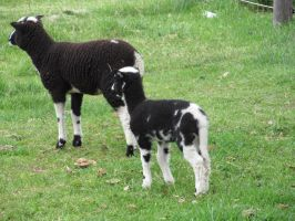 Jacobs sheep lambs: stock by Lythre-does-photos