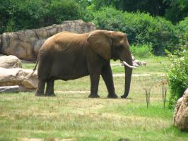 Elephants Nashville Zoo 2012 7 by TheNormal1