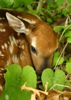 Fawn II in hiding by DGAnder