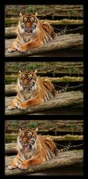 Tiger Yawning Sequence by James-Marsh