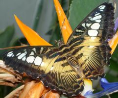400 - butterfly by WolfC-Stock