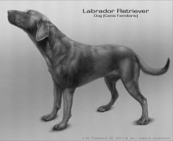 Chocolate Labrador Retriever by EtherealProject