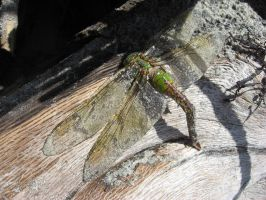 dragonfly by bootstrap-beth