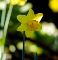 Daffodil by ARC-Photographic