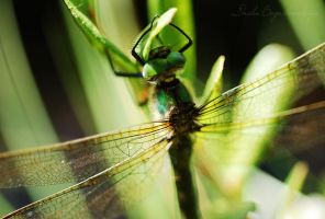 Dragonfly... by TheRedGirl