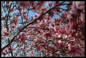 Pink Magnolia IV by Cwen-Natulcien