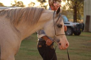 JA Arab Grey Head shot in halter by Chunga-Stock
