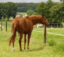 chestnut horse back looking... by Nexu4