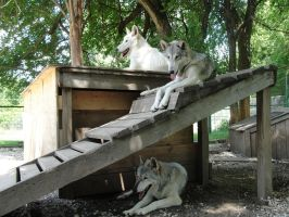 July 22: All 3 wolves 2 by FamilyCanidae